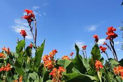 Margit-Sziget    Margaret-Island (Sandra Király Pictures) Tags: flowers hungary budapest virág magyarország margitsziget margaretisland