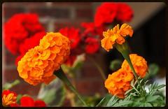Marigolds and Geraniums (1suncityboi) Tags: