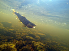 fooled by a nymph (johanskold) Tags: fishing underwater flyfishing trout arcticcircle browntrout catchandrelease ring swedishlapland