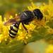 Ectemnius sp. or  Lestica sp. (Hymenoptera: Crabronidae)
