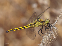 Orthetrum cancellatum (diegocon1964) Tags: odonata libellulidae anisoptera orthetrumcancellatum orthetrum libelluloidea