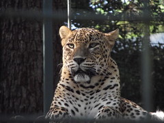 Zoo de la Palmyre (sOoZ__) Tags: zoo lion maritime charente palmyre