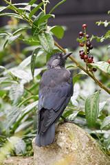 Corvus frugilegus 1