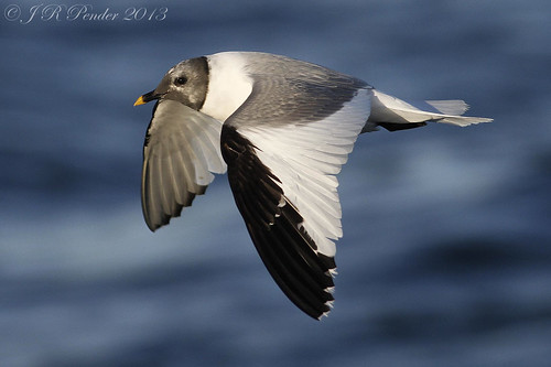 """Sabine's Gull, at sea off Scilly (J.Pender) • <a style=""""font-size:0.8em;"""" href=""""http://www.flickr.com/photos/30837261@N07/9901813245/"""" target=""""_blank"""">View on Flickr</a>"""