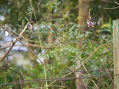 Indigofera cassioides (dinesh_valke) Tags: tropical shrub fabaceae peafamily papilionaceae beanfamily legumefamily indigoferacassioides indigoferaleptostachya indigoferapulchella cassiaindigo chinmati
