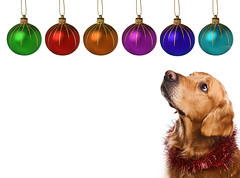 Golden retriever on white background (PMC Fresno) Tags: christmas xmas eve dog pet white holiday color cute horizontal ball toy golden design shiny bright background decoration canine newyear retriever celebration whitebackground domestic gift single bubble present colored studioshot breed decor bauble isolated babble carnivore pedigree purebred pedigreed purebreddog isolatedonwhite
