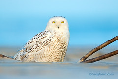Snowy Owl peacefully standing on the beach (Greg Gard) Tags: white snow male beach yellow standing canon lens newjersey eyes sand looking snowy south young nj tc owl straight immature juvenile invasion teleconverter eastcoast extender snowyowl 600mm irruption buboscandiacus 1dx canonef600mmf4lisusm greggard gregorygard greggardcom