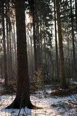 Sonnenlicht / sunlight (Ellenore56) Tags: 31012014 wald forest wood baum bume tree trees unterholz brake brushwood undergrowth scrub underwood waldboden forestfloor duff forestsoil winter wetter weather schnee snow verschneit sonnenlicht sunlight sonne sun gegenlicht backlighting snowy snowbound snowcovered januar january botanik botanical stimmung mood spirit detail moment augenblick foto photo sichtweise perspektive perspective reflektion reflection reflexion farbe color colour licht light inspiration imagination faszination magic magical explore sonyslta77 ellenore56 natur nature