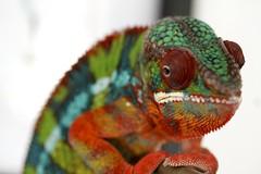 Doubtful (Florence Ivy) Tags: reptile lizard chameleon herp drogo pantherchameleon kammerflagekreations