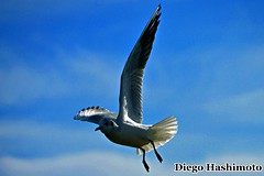 freedom (diegohashimoto) Tags: freedom nikon seagull liberdade d3200