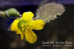 Little Yellow Woodsorrel (Oxalis stricta) (LensLord) Tags: flower macro yellow jack flora flickr explore foster oxalis woodsorrel stricta mancilla explored ef180mmf35lmacrousm20x ijakmaccom lenslord thelenslord 20140208