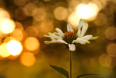 Golden Evening (j man.) Tags: life lighting light flower color macro art texture nature floral colors beautiful closeup lens photography golden evening petals cool focus warm flickr dof blossom bokeh pov background sony details dream favorites clarity blurred 11 depthoffield pointofview sp ii views di if coneflower f2 tamron comments ld jman macrophotography a300 af60mm mygearandme flickrbronzetrophygroup