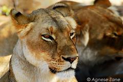 Undisturbed - South Africa (agnese.zane) Tags: animal female southafrica wildlife hunting lion sight attention krugerpark kruger gamereserve