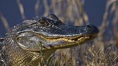 Alligatore / Alligator (Luc Parent) Tags: usa louisiana reptile alligator bayou marais louisiane alligatore lucparent duobjectif