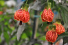 2014-03-02_0175abutilon_huber (lblanchard) Tags: abutilon flowershow 2014 horticort