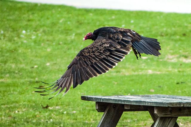 Paynetown State Recreation Area - Lake Monroe - Turkey Vulture - April 13, 2014