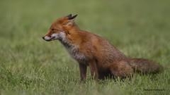 Fox (Matt Scott Wildlife Photography) Tags: red wild canon garden bristol wildlife tockington elements fox 7d 400mm canon7d