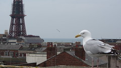 Seagull with a view... (deltrems) Tags: tower rooftop seagull lancashire blackpool wilkinsons blackpooltower