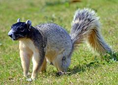 Fox Squirrel (Stan in FL) Tags: nature squirrel florida wildlife fox fl mammals thevillages
