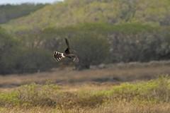 Montagu's Harrier (Female) (Martin F Hughes) Tags: uk southwest slr birds canon eos cornwall martin birding lizard birders hughes avian cornish twitcher 500d montagusharrier 100400 martinhughes