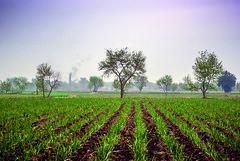 Morning (Azarbhaijaan) Tags: pakistan sky tree row feilds okara baghdadi sahiwal pakistaniphotographers pentaxk10d azharmunir drpanga