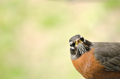 """I am not the groundhog, but I say """"Bring on Spring!"""" (Maggggie) Tags: robin groundhogday february bird explored"""