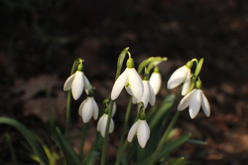 snowbells | Free stock photos - Rgbstock -Free stock images ...