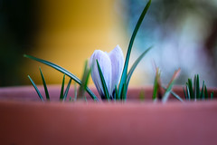Se asoman los Crocus (mangeles pm) Tags: naturaleza flores crocus bulbos