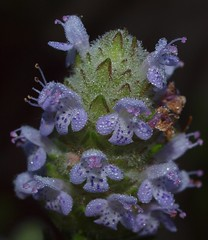 Jeweled Broach Wildflower (tclaud2002) Tags: park flower florida blossom blossoms olympus stuart dew