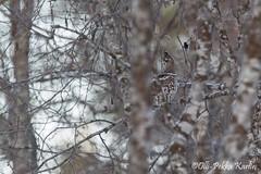 Pyy piiloutuu hienosti puuston sekaan 18.2.2015 Rovaniemi (Olli Pekka Karlin) Tags: pyy hazelgrouse bonasabonasia leppä