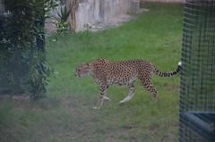Cheetah- isn't he streamlined? (shankar s.) Tags: fauna zoo uae abudhabi cheetah unitedarabemirates bigcats carnivores acinonyxjubatus felidae zoologicalgardens emiratesparkzoo samhaabudhabi