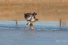 Juvenile Bald Eagle Dashes and Dines - 2 of 6