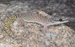 Spotted Velvet Gecko (Oedura coggeri) (Mattsummerville) Tags: gecko mountmolloy oeduracoggeri spottedvelvetgecko