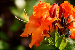orange........with visitor (atsjebosma) Tags: light orange macro garden licht spring ngc may thenetherlands snail azalea mei tuin groningen lente oranje bloem slak voorjaar 2016 atsjebosma
