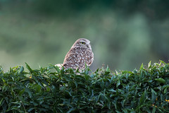 Owl-3 (blackhawk32) Tags: owl burrowingowl