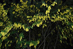 8 - Saint-Malo Fleurs de cytise dans la nuit (melina1965) Tags: leica yellow night jaune lumix spring may bretagne panasonic mai nuit printemps saintmalo 2016 illeetvilaine fx10