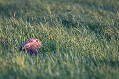 Hare (Lena_CS) Tags: wild brown rabbit bunny green nature hare wildlife
