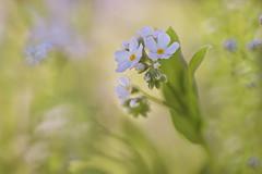 Forget-Me-Nots (lfeng1014) Tags: flower macro closeup dof bokeh depthoffield dreamy forgetmenot macrophotography myosotissylvatica lifeng  canon5dmarkiii ef100mmf28lmacroisusm