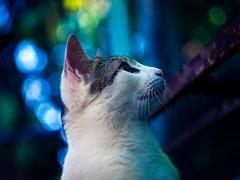 Poser (AdrianoSetimo) Tags: pet cat lumix kitten feline bokeh kitty panasonic gato m42 felino petrpolis helios helios44m lightroom petportrait bichano m43 animaldeestimao helios44 m42lens helios44m7 gx7 swirlybokeh microfourthirds microquatroteros lumixgx7 panasonicgx7 panasonicdmcgx7