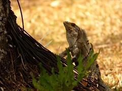 Iguana (Jorge Solís Campos) Tags: naturaleza nature animal fauna costarica wildlife iguana wildanimal sanmateo reptiles reptil animalsalvaje vidasalvaje