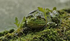 green frog (don.white55 That's wild...) Tags: nature wildlife amphibian frog habitat mossy wildwoodpark fallentrees dauphincounty wildwoodlake donwhite harrisburgpennsylvania pennsylvaniawildlife theartistseyes canoneos70d greenfrogranaclamitans tamronsp150600mmf563divcusda011 donpwhitephotography thatswildnaturephotography