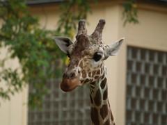 Howdy :-) (uwe_gompf_66) Tags: giraffe zoo frankfurtmain