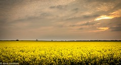 fields of gold  (explored 18/5/16) (dave_harrison56) Tags: sunset clouds landscape northumberland fields blyth fieldsofgold seatonsluice canon24105 canond70 rapemaze