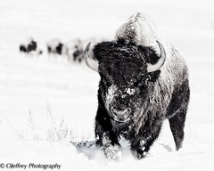 Leading the Herd (OJeffrey Photography) Tags: winter snow nikon colorado wildlife co highkey bison stylized americanbison coloradowildlife d7100 jeffowens ojeffrey ojeffreyphotography