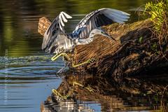 Incoming Heron (J Baker Photography) Tags: florida wetlands morning light transition colors juvenile little blue heron wading birds
