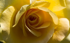 Just a rose (Irina1010) Tags: light flower macro nature rose yellow canon ngc npc flickrdiamond