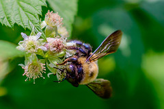 Time Spent With The Queen (vernonbone) Tags: ontario garden outside backyard nikon bees insects d3200 june2016