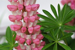 Pink lupine. Available on shutterstock.com (CCphotoworks) Tags: pink nature outdoors pretty lupine perennials tallplants lupineflower pinklupine gardenfavourites