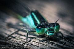A little dragonfly (akirakun photography) Tags: macro closeup insect dragonfly augen makro libelle insekt vintagelens elicar a6000