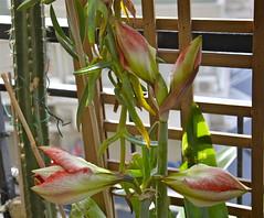 Hippeastrum: boccioli (costagar51) Tags: italy italia natura sicily fiori palermo piante sicilia